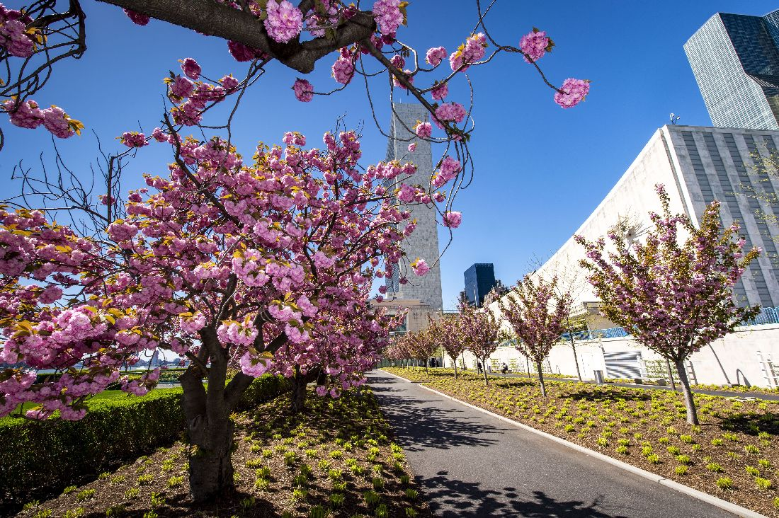UN Photo by Loey Felipe, Cherry blossoms in full bloom at the UN Headquarters against a backdrop of the Secretariat building.